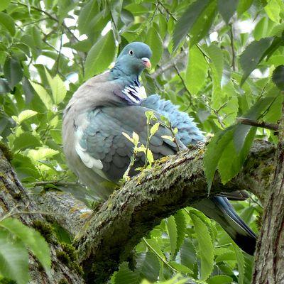 sempiternels pigeons