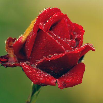 Rose en automne
