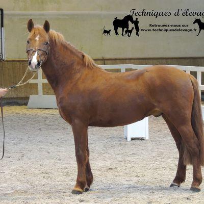 Réticulocytes dans l'analyse du sang chez le cheval