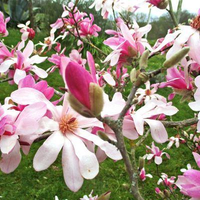 Les fleurs du magnolia stellata