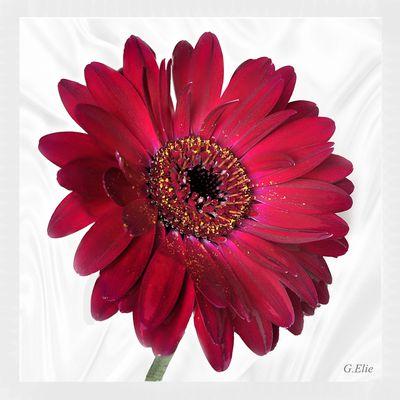 Le gerbera symbolise à lui seul la générosité, la bonté, la tendresse ou la sympathie !