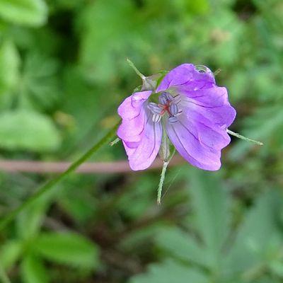 Botanique au jardin (5) les géraniums