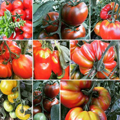 Au coeur de l'été, les tomates abondent!