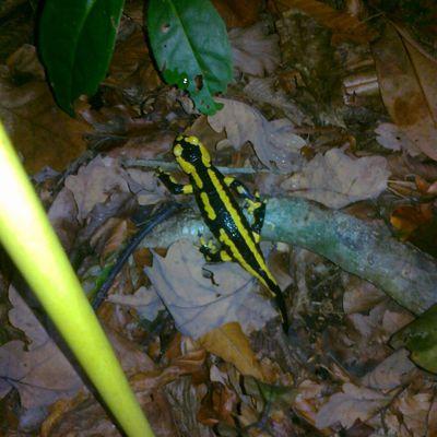 l'automne est là et les salamandres sont de retour