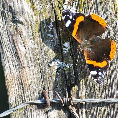 Le saviez-vous ? Les papillons migrateurs sont arrivés sous nos latitudes!!