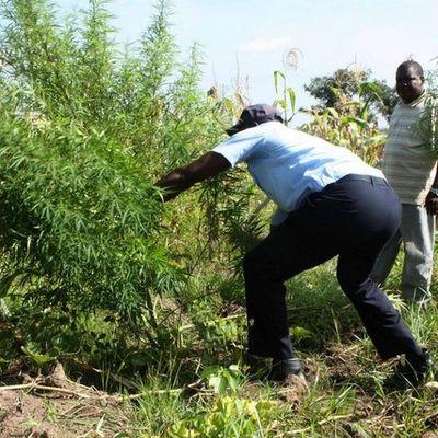 Polícia destrói lavras de plantação de liamba na aldeia Contentores