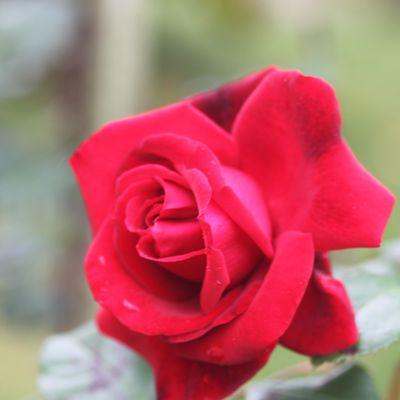 Le rosier 'Messire Delbard'