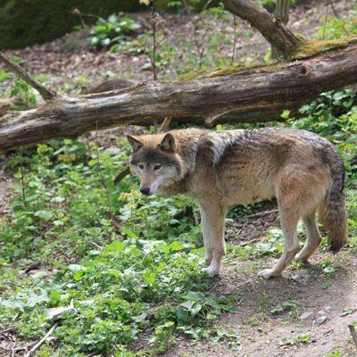 Battue aux loups dans le Béarn : une enquête ouverte...