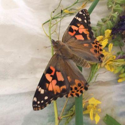 [Activité] Expérience d'observation de la chenille au papillon