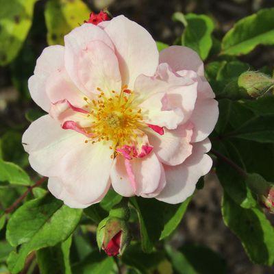 Sur les chemins de la rose....