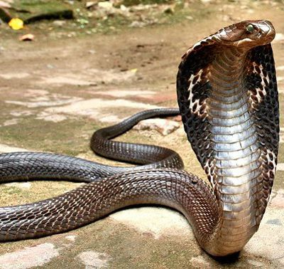 SNAKE ANTI-VENOM INFORMATION FOR PHUKET THAILAND
