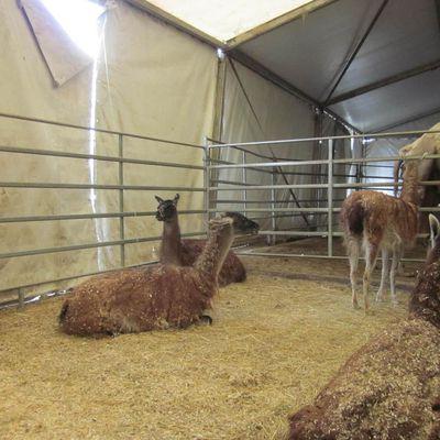 Visite du cirque Bormann-Moreno avec les Ce1 B et les Ce2 B : on a vu des lamas !