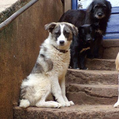 Larsson , un jeune chien croisé berger roumain