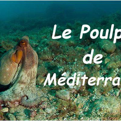Le Poulpe de Méditerranée