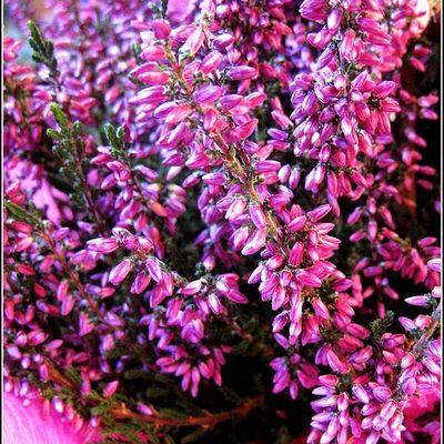 Les fleurs - bruyère