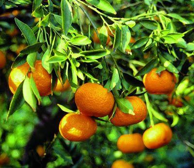 Un p'tit gratin de mandarines,  ça vous dit ?