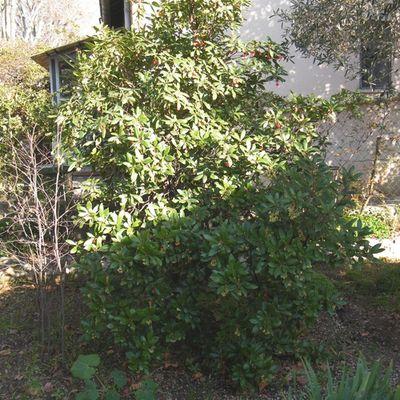 "L'ARBOUSIER  ""Arbustus unedo"""