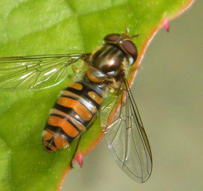 """Syrphe à ceintures """"Episyrphus balteatus"""" - Un """"colibri"""" familier et voyageur."""