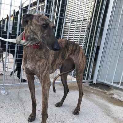 H. Lira lévrier galga bringée de 6 ans à l'adoption chez sos chiens galgos