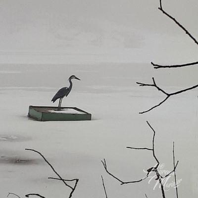 Héron sur lac ...