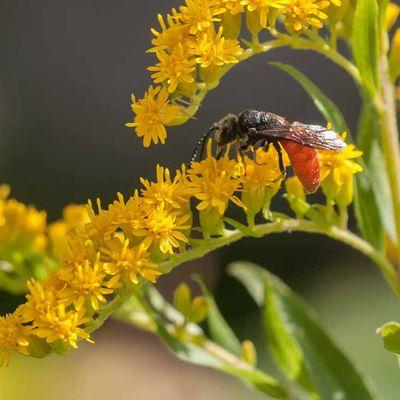 Abeille-coucou à abdomen rouge