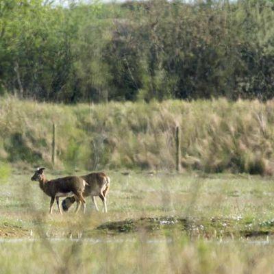 Deux mouflons