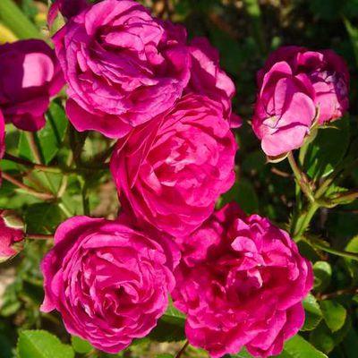 Le blog de rosier verdun