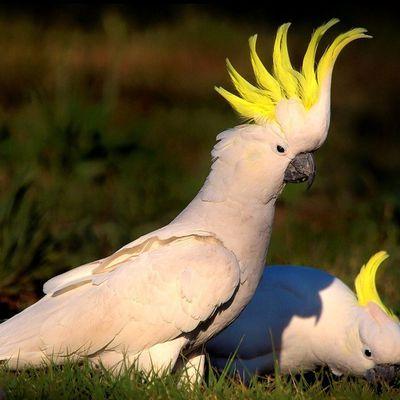 Le razze di pappagalli parlanti