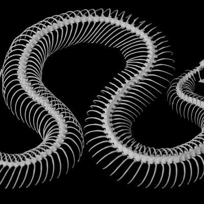 Lo scheletro del serpente.