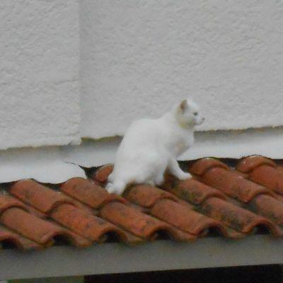 Des chats sur un toit