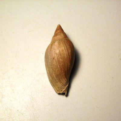 Cryptochorda stromboides...