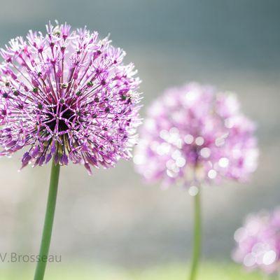 Les fleurs d'ail de jardin ...