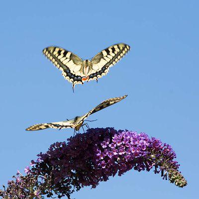 Envols de papillons ...