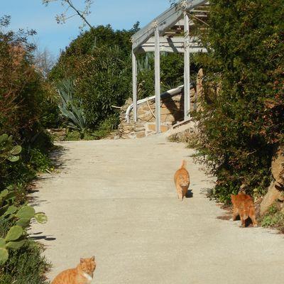Chats roux sur la corniche du Gambaro