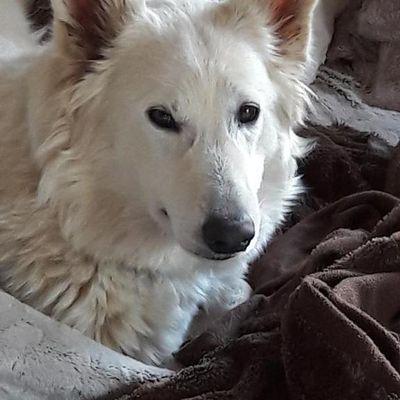 Chiots BERGER BLANC SUISSE nés le 8 juin 2019, élevage OF NICE ANIMALS.