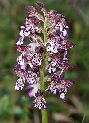 L'orchidée « Pentecôte »