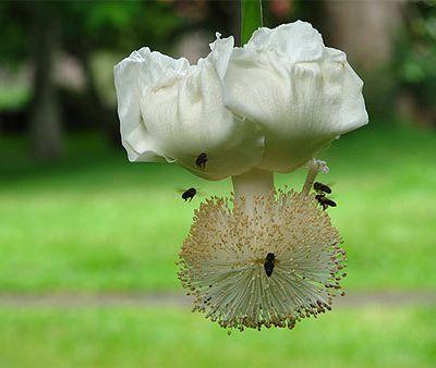 TS_Amérique du Nord 2014 (2A) : La pollinisation de la fleur de baobab