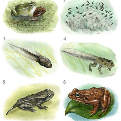 Illustration naturaliste à l'aquarelle : cycle de reproduction des grenouilles