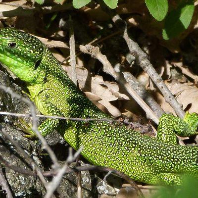 Le lézard vert, Lacerta bilineata occidentalis (Daudin 1802)