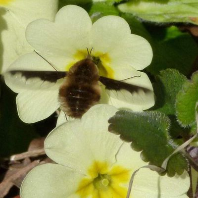 Le Grand Bombyle, Bombylius major