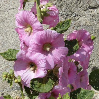 Roses trémières de Vendée