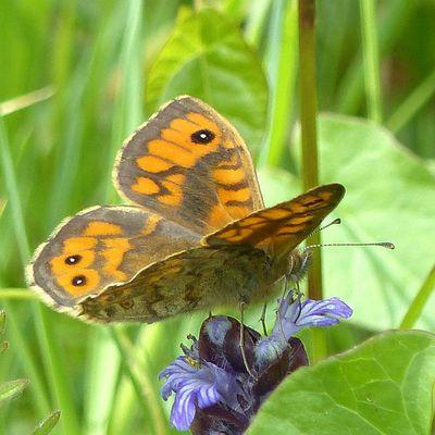 Papillon au château d'olonne