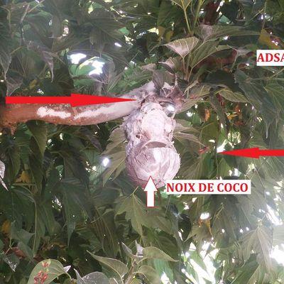 DESTRUCTION FRELONS DANS UNE NOIX DE COCO Bordeaux,Pessac,Talence,Mérignac,Gradignan.......