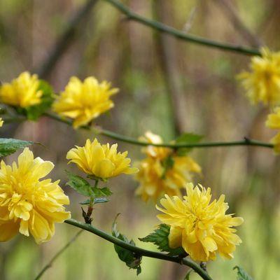 Corête du Japon - Kerria japonica.