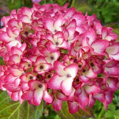 Hortensia - Hydrangea macrophylla ' Mirai '