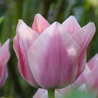 Tulipe triomphe 'Apricona '