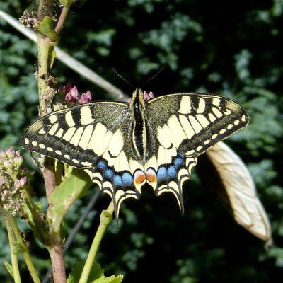 Le Machaon - Papilio machaon.