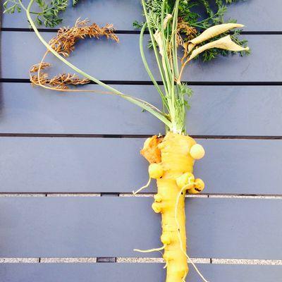 La carotte monstrueuse d'Halloween ! même pas semée