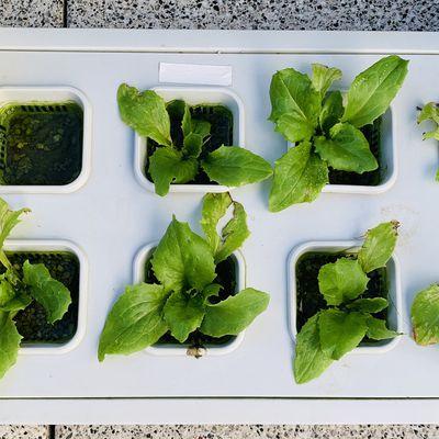 """Cultiver des salades """"iceberg"""" en système d'hydroculture, premier essai"""