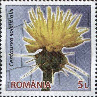 Centaurée du solstice